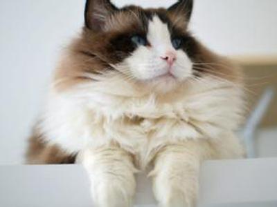 布偶猫温顺安静的性格和可爱美丽的外表受到大家的