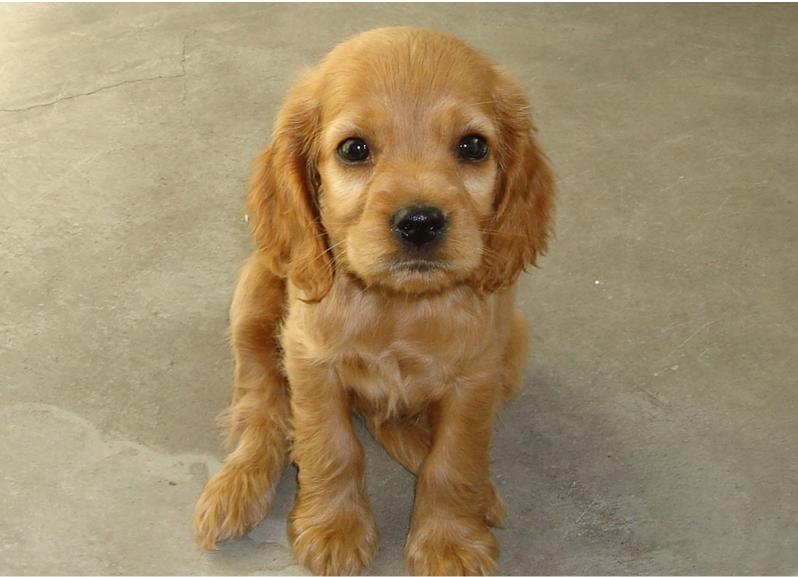 可卡犬的养护常识_可卡犬的特征是什么|派多格宠物