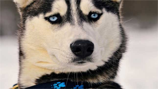 阿拉斯加犬感冒了怎么治疗