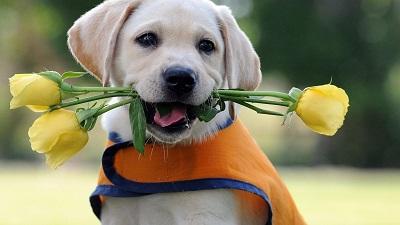 可爱的狗狗,就是不知道拉布拉多犬有没有攻击性,通过派多格宠物我们具
