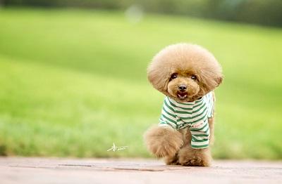正文         泰迪犬属于小型犬,属于贵宾犬的一种,因为娇小可爱,是一